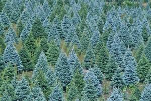 Christmas-Trees-Farm